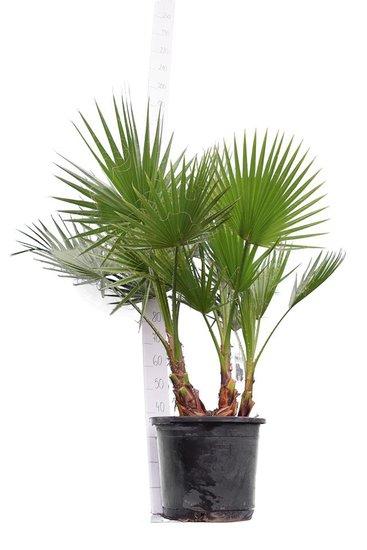 Washingtonia robusta Multistam pot Ø 45 cm - hauteur totale 140-160 cm [palette]