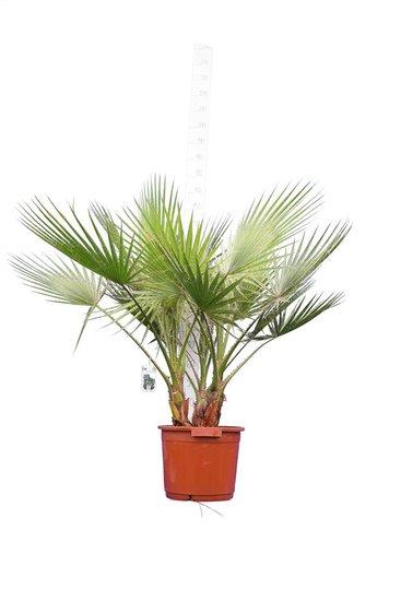 Washingtonia robusta Multistam pot Ø 40 cm - hauteur totale 130-150 cm [palette]