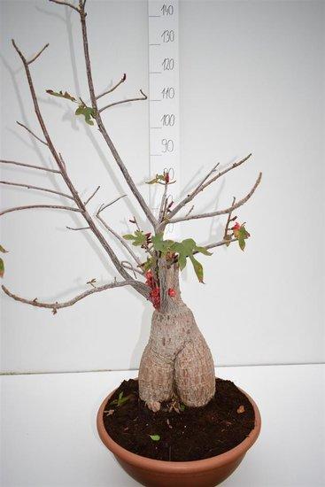 Brachychiton bidwillii pot Ø 40 cm [palette]