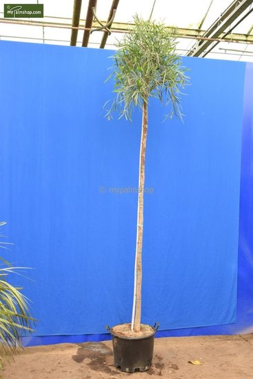 Acacia dealbata hauteur totale 200+ cm [palette]