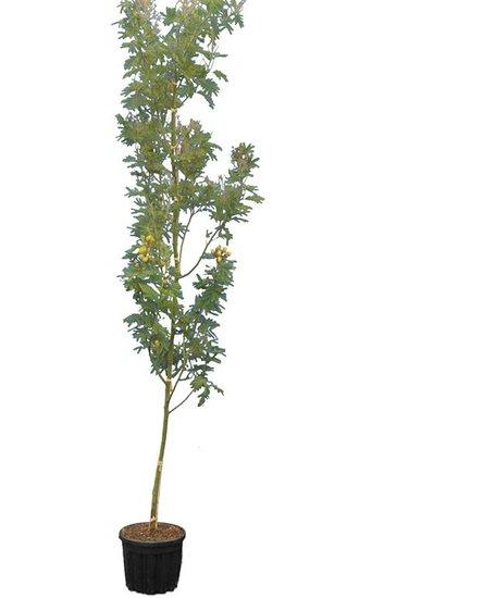 Acacia dealbata pot Ø 33 cm [palette]