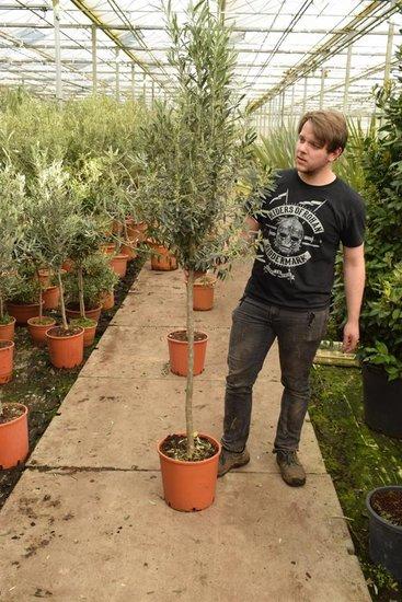Olea europaea wilde vorm tronc 100+ cm [palette]