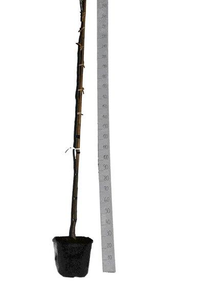 Albizia julibrissin Ombrella pot Ø 33 cm [palette]