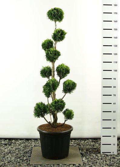 Chamaecyparis lawsonia Stardust Multibol - Hauteur totale 175-225 cm [palette]