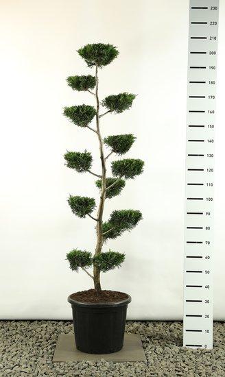 Cupressocyparis leylandii multiplateau Plat - Hauteur totale 170-200 cm [palette]