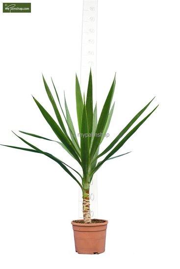 Yucca Elegans Hauteur totale 80-100 cm - tronc 10-20 cm -  pot Ø 20 cm