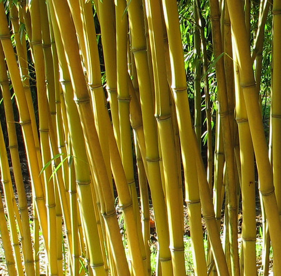 Phyllostachys aureosulcata Aureocaulis - Hauteur totale 100-140 cm - 2 ltr pot