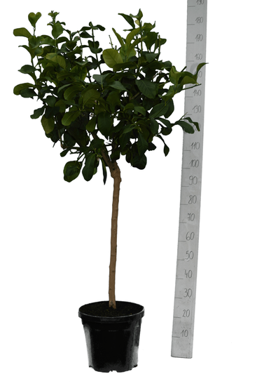 Citrus medica Digitata pot Ø 35 cm