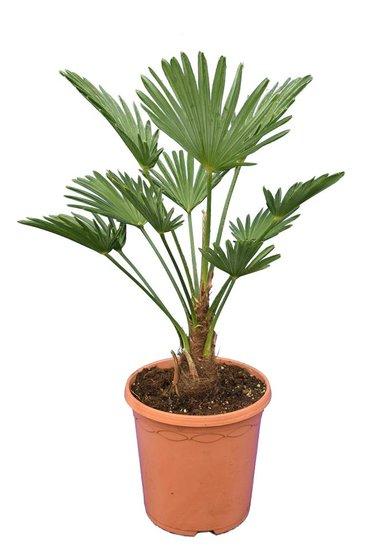Trachycarpus wagnerianus Frosty pot Ø 23 cm hauteur totale 50-70 cm