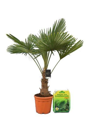 Trachycarpus fortunei tronc 25-35 cm + 10 ltr terreau pour palmiers