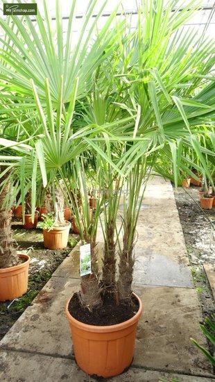 Trachycarpus fortunei 'multitroncs' Hauteur totale 180+ cm [palette]