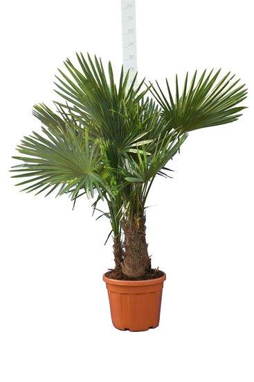 Trachycarpus fortunei Multitrunk pot 35 ltr [palette]