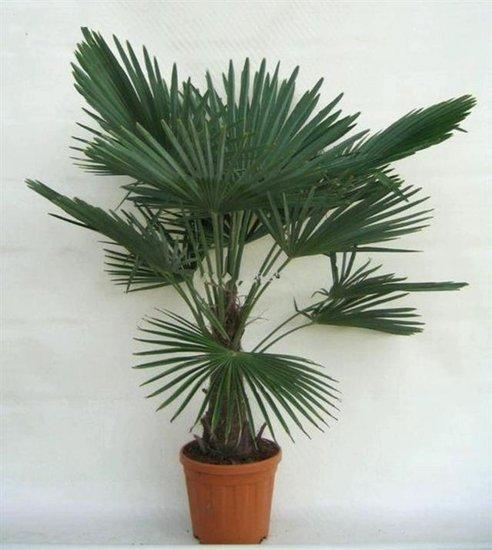 Trachycarpus fortunei tronc 30-40 cm
