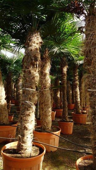 Trachycarpus fortunei tronc 275-300 cm [palette]
