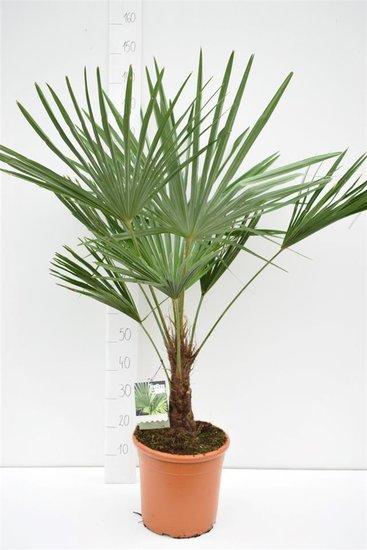 Trachycarpus fortunei tronc 15-25 cm