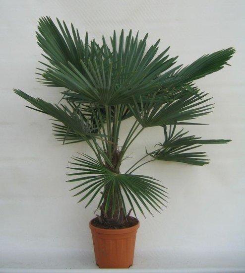Trachycarpus fortunei tronc 25-35 cm