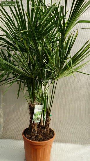 Trachycarpus fortunei 'multitroncs' Hauteur totale 150-170 cm