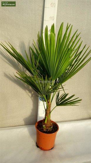 Trachycarpus fortunei - Hauteur totale 70-90 cm (Ø 22 cm pot)