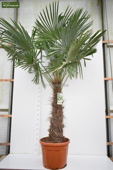 Trachycarpus fortunei tronc 120-140 cm [palette]