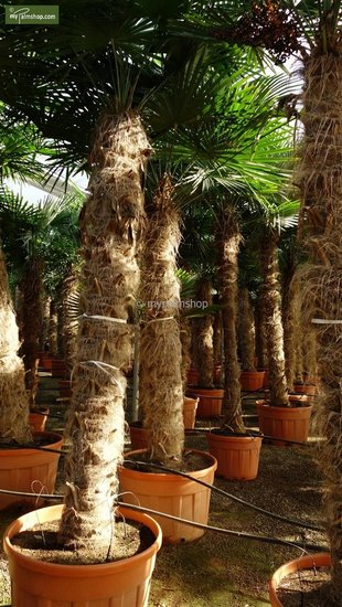 Trachycarpus fortunei tronc 180-200 cm [palette]
