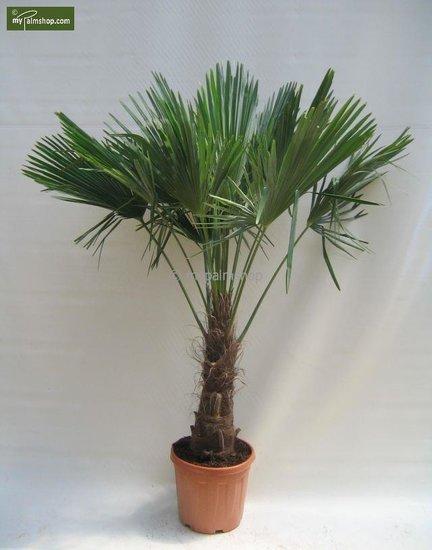 Trachycarpus fortunei tronc 60-70 cm [palette]