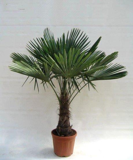 Trachycarpus fortunei tronc 40-50 cm - Hauteur totale 150-180 cm