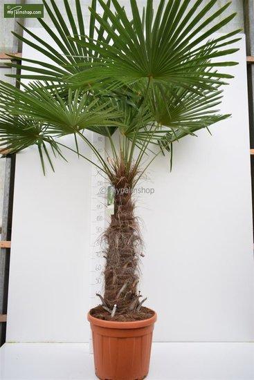 Trachycarpus fortunei tronc 100-120 cm [palette]