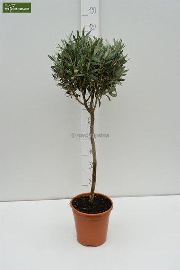 Olea europaea forme sphérique tronc 80-90 hauteur totale 140-160 cm