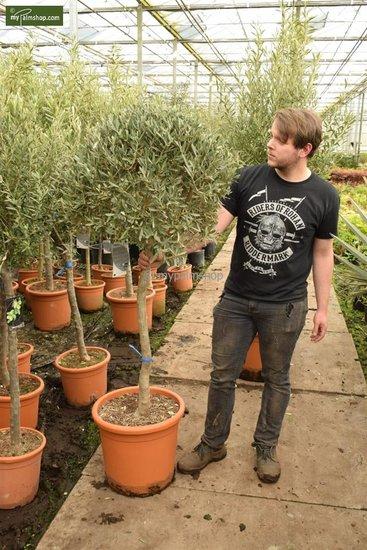 Olea europaea forme sphérique tronc 80+ hauteur totale 170-190 cm [palette]