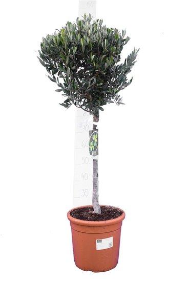 Olea europaea forme sphérique hauteur du tronc 30-40 cm Circumférence 12-15 cm