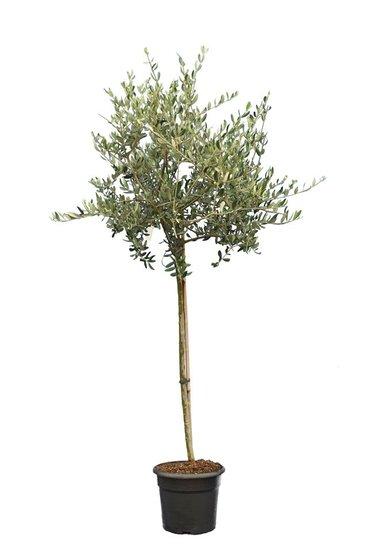 Olea europaea forme sauvage tronc 90-110 cm circumférence 12-15 cm