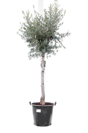 Olea europaea forme sauvage tronc 70+ cm circumférence 18-22 cm [palette]
