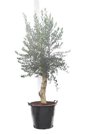 Olea europaea forme sauvage tronc 80+ cm circumférence 30-40 cm [palette]