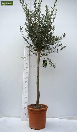 Olea europaea forme sauvage tronc 80-90 cm hauteur totale 200+ cm [palette]