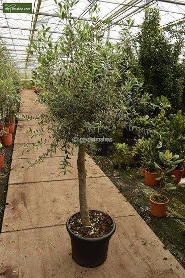 Olea europaea forme sauvage tronc 40-50 cm circumférence 25-30 cm [palette]