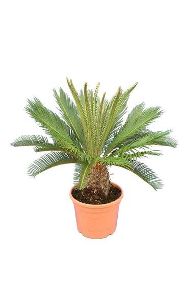 Cycas revoluta pot Ø 28 cm - hauteur totale 75-95 cm
