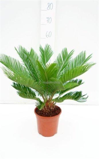 Cycas revoluta pot Ø 18 cm - hauteur totale 60-80 cm