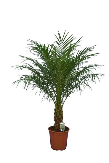 Phoenix roebelenii - tronc 30-40 cm - Hauteur totale 120-140 cm  - Ø 27 cm pot