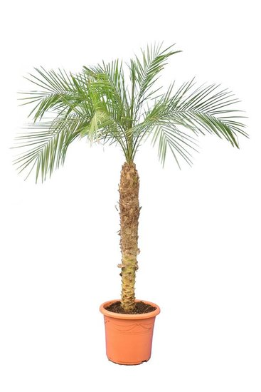 Phoenix roebelenii tronc 100-120 cm [palette]