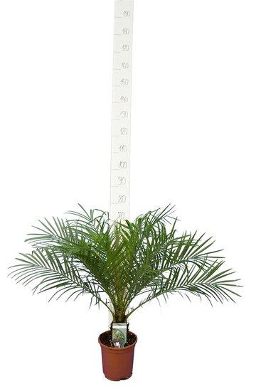 Phoenix roebelenii tronc 5-10 cm - Hauteur totale 60-80 cm