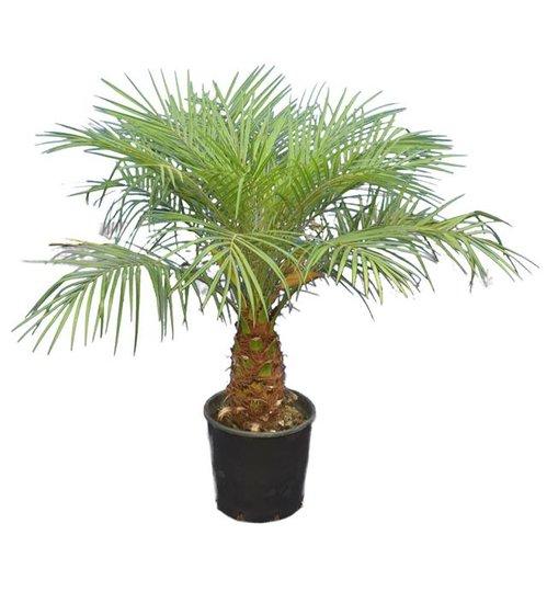 Phoenix roebelenii - tronc 20-30 cm - Hauteur totale 100-120 cm  - Ø 26 cm pot