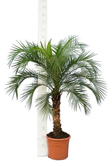 Phoenix roebelenii tronc 60-80 cm [palette]