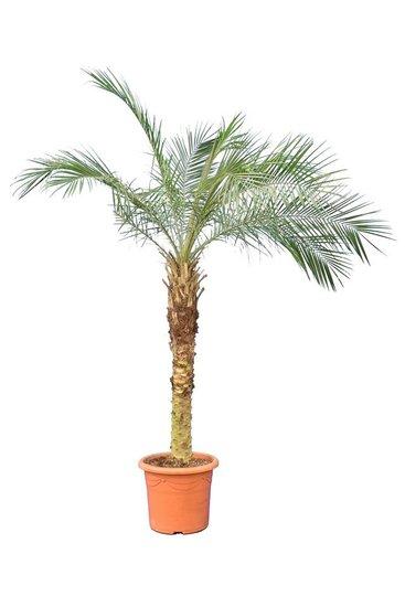 Phoenix roebelenii tronc 80-100 cm [palette]