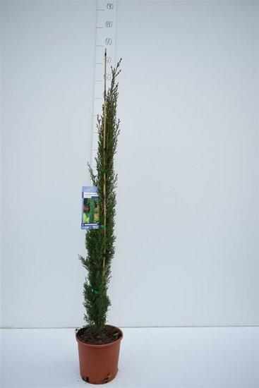 Cupressus Sempervirens Totem - Hauteur totale 110-130 cm - 5,4 Ltr Ø 23 cm pot