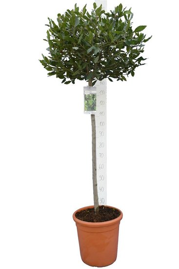 Laurus nobilis pot Ø 37 cm