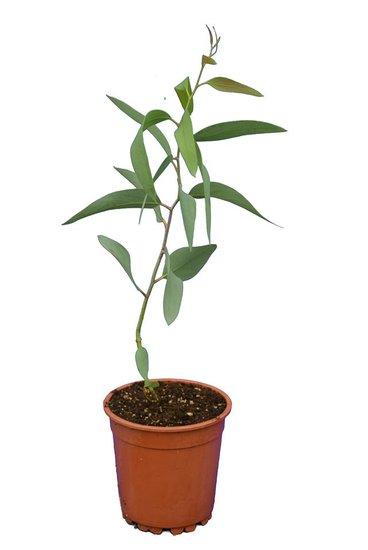 Eucalyptus niphophila pot Ø 17 cm