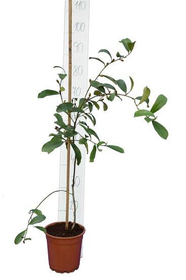 Michelia yunnanensis pot Ø 17 cm hauteur totale 90-110 cm