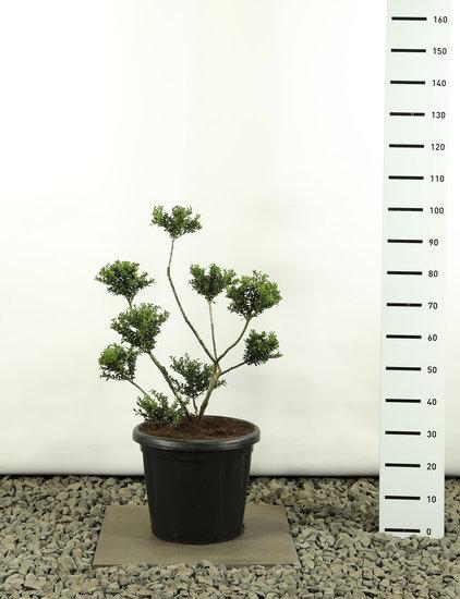 Ilex crenata Convexa Multibol - Hauteur totale 80-100 cm