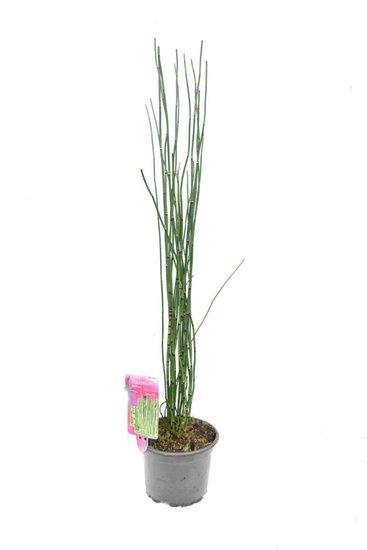 Equisetum japonicum - Hauteur totale 80-100 cm - pot Ø17 cm 2 ltr