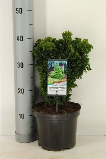 Chamaecyparis obtusa `Nana Gracilis´pot Ø 19cm - 3 ltr